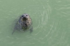 animal, seals, marine mammal, marine biology, mustelidae, fauna, harbor seal,