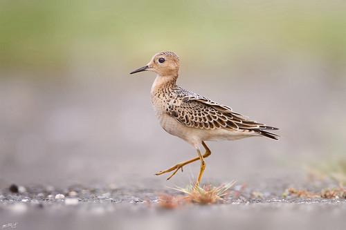 ny newyork nature birds canon wildlife longisland 7d sandpiper shorebird wildbirds buffbreasted 600mm buffbreastedsandpiper