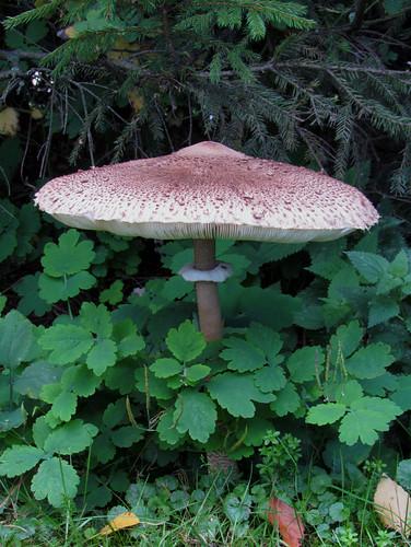 Гриб-зо́нтик пёстрый — вид грибов семейства шампиньоновых. Википедия Photo by Kari Pihlaviita on Flickr Автор фото: Kari Pihlaviita