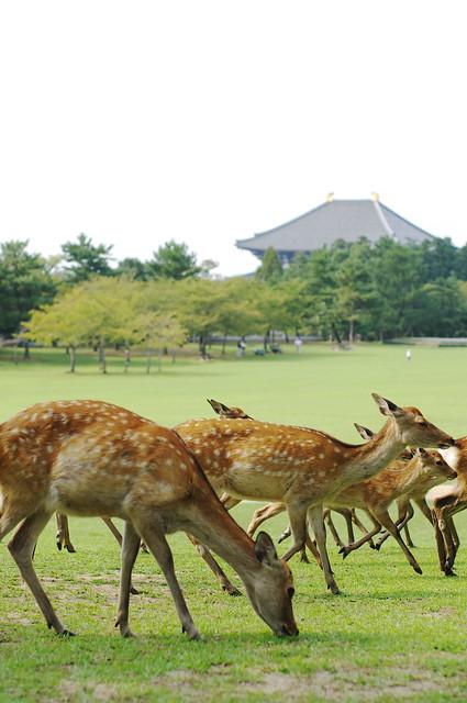 city of deer, Nara