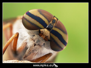 Horse fly focus stack.