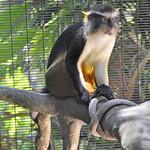 Wolf's Guenon (Cercopithecus wolfi wolfi) aka Wolf's mona monkey