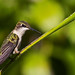 Ruby-throated Hummingbird... #22