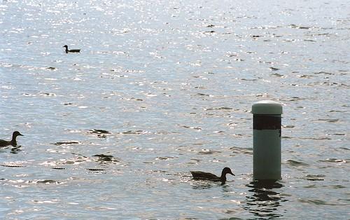 Day 221/365 - Greenlake Ducks