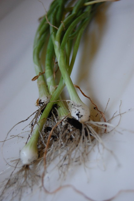 Bunching Onions from My Garden