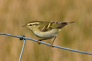 Yellow-browed Warbler 110919 IMG_3241