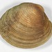 hard clam - Photo (c) Casey Dunn, some rights reserved (CC BY-NC-SA)