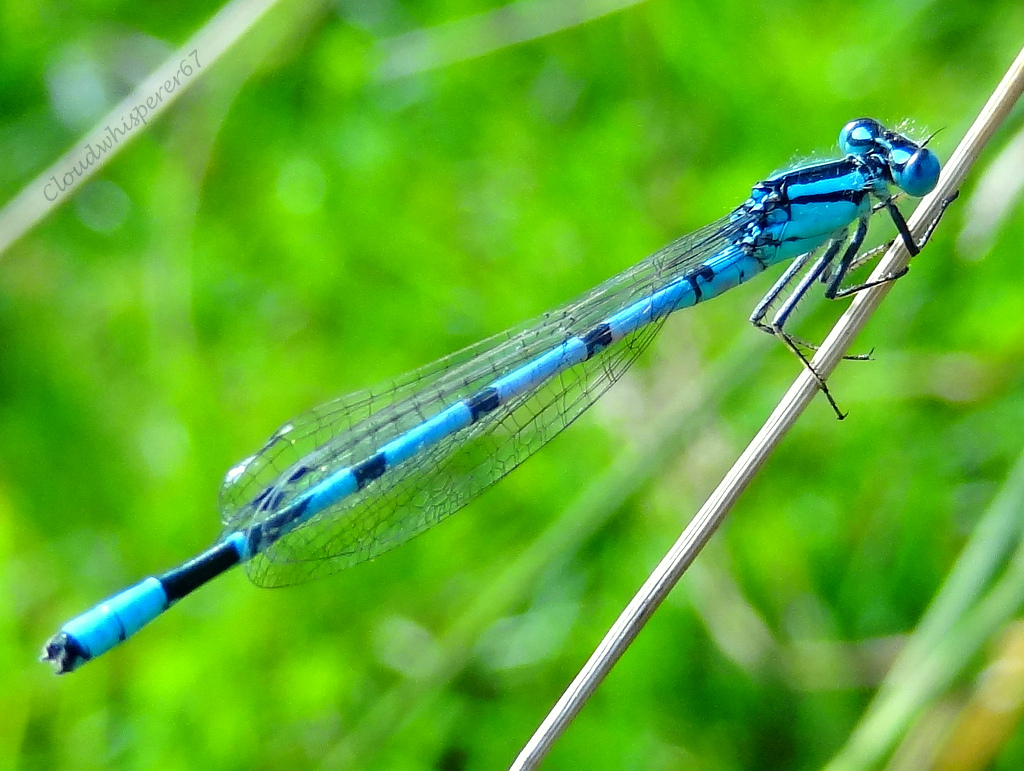 The Blue Damselfly (or young Dragonfly?)