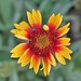 First Gaillardia Bloom Of 2011 002 by Chrisser