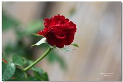 養生館~玫瑰花