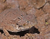"<a href=""http://www.flickr.com/photos/jroldenettel/6167105285/"">Photo of Phrynosoma modestum by Jerry Oldenettel</a>"