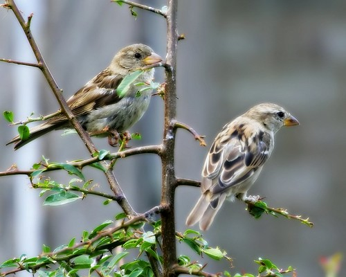 Ortonised Sparrows - 15 Aug 2011/6470