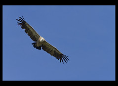 animal, bird of prey, eagle, wing, vulture, fauna, bald eagle, accipitriformes, bird, flight, condor,