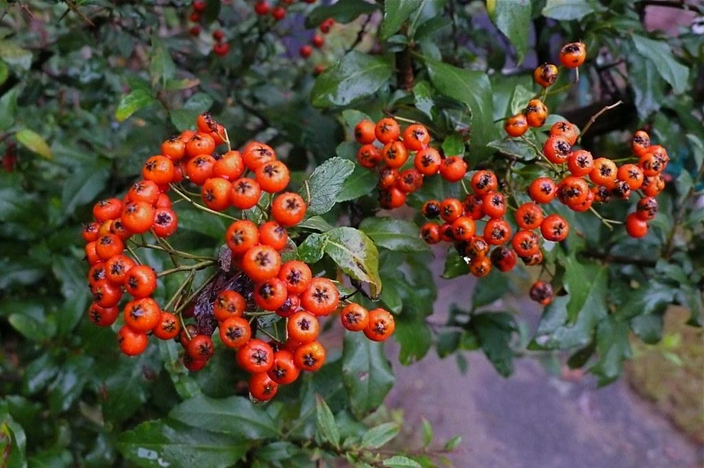 pyracantha--firethorn