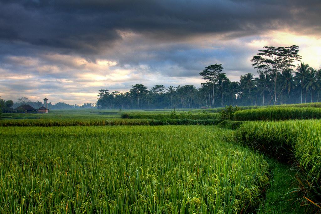 Sunrise over the rice padis