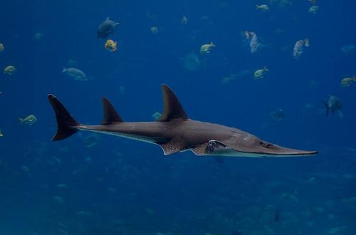 巨型犁頭鰩是魟魚的一種。(圖:brian.gratwicke)