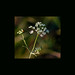 Small photo of Achillea