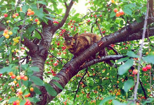 Tiina kirsikkapuussa by Anna Amnell