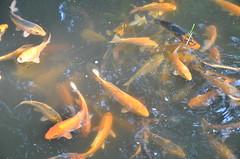 fish, fish, fish pond, marine biology, koi,