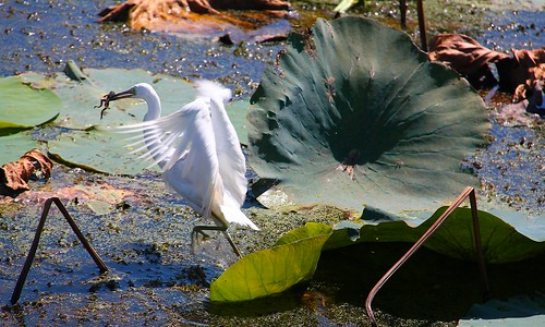 Egret Catches a Frog
