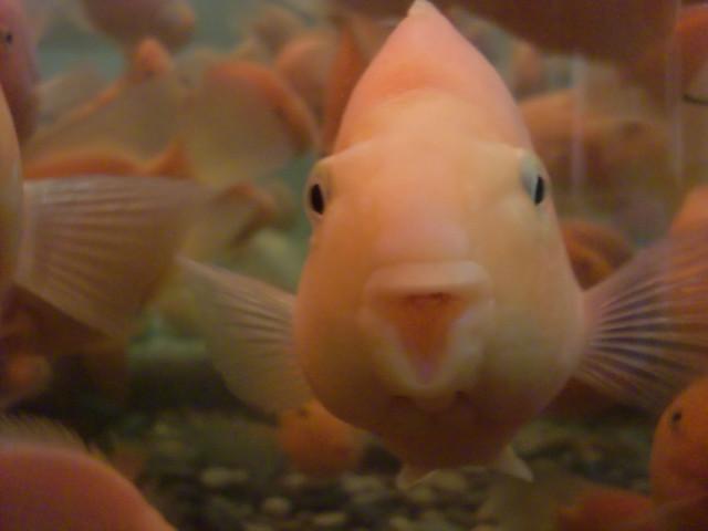 Le plus moche poisson du monde flickr photo sharing - Poisson moche ...
