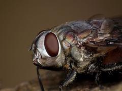 Grey Rutilia Fly closeup