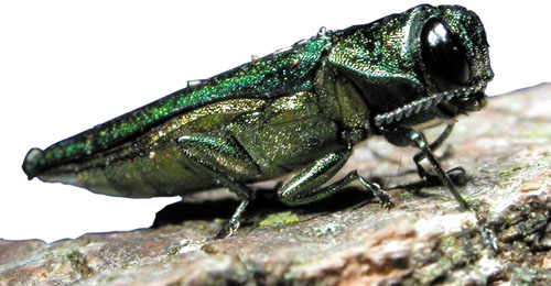 The emerald ash borer is a non-native, wood-boring insect. (USDA photo)
