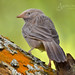 Jungle Babbler by Anuj Nair