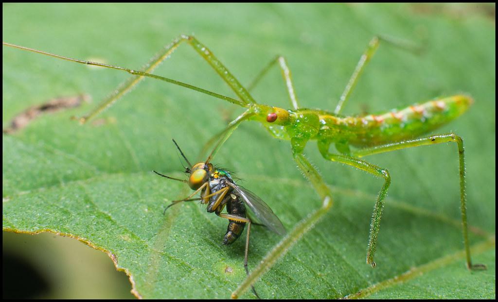 leafhopper assassin bug and long legged fly. Black Bedroom Furniture Sets. Home Design Ideas