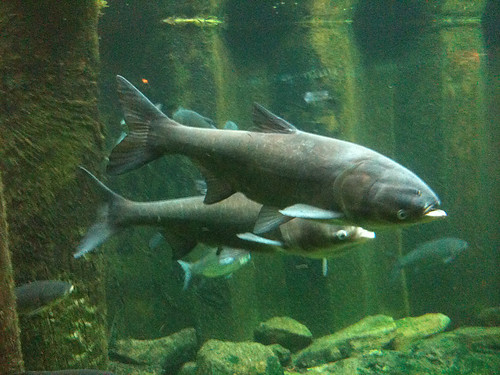 Asian Carp Under Glass by jmogs via Flickr