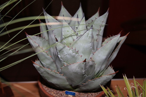 Agave deserti by Pseudolithos