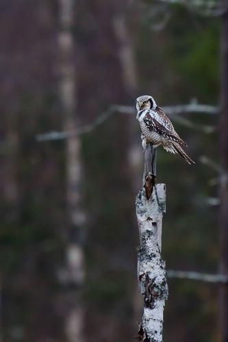 Surnia ulula - Northern Hawk Owl - Hökuggla