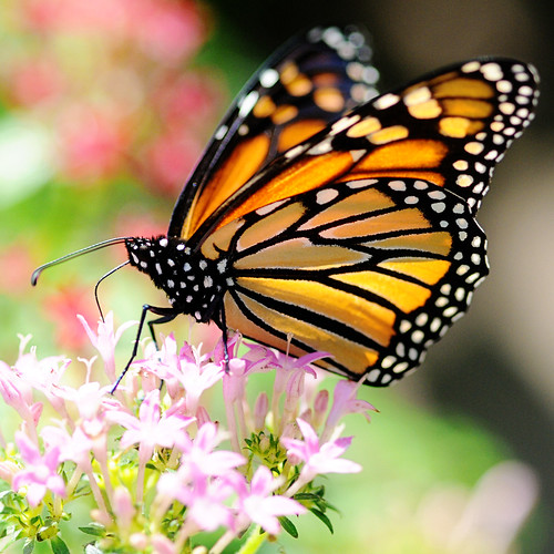 Monarch macro by Gallery32/ Trina Baker