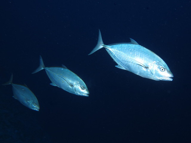 A group of herring scad alepes vari were swimming very for What is the fastest swimming fish