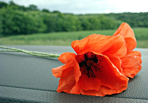 Poppies in the car window