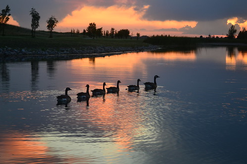 Geese on pond, Grand Forks