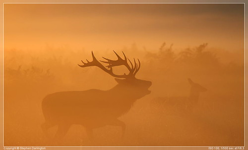 orange mist animal sunrise stag wildlife deer antlers planet reddeer rut bushypark bellow rutting beastofbushypark