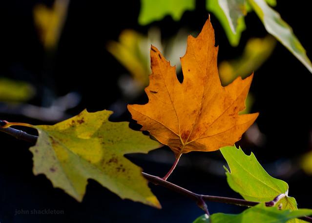 autumn leaf / hoja de otoño