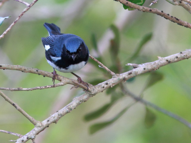 Black-throated Blue Warbler 20111020