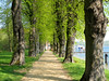 Alley with lime trees (Tilia) by Batikart