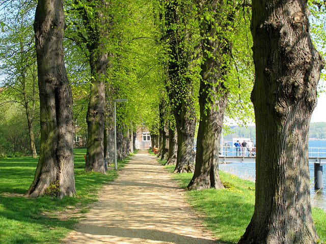 Alley with lime trees (Tilia)