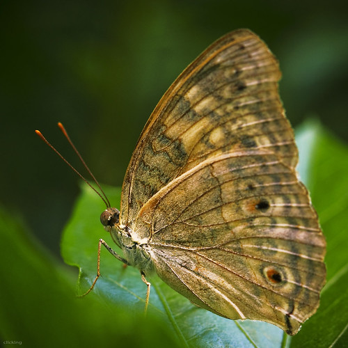 brown macro green nature butterfly garden wings dof natural bokeh details insects vietnam hide hiding bướm côntrùng bươmbướm