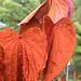 Bauhinia aureifolia flowershoot 4.72