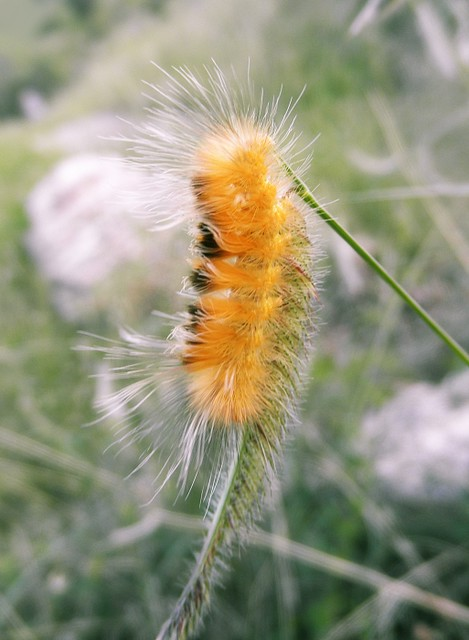 Fuzzy Caterpillars http://www.flickr.com/photos/floralfawn/6156569819/