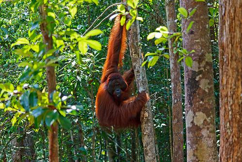 Male Orangutan in Tanjung Puting National Park