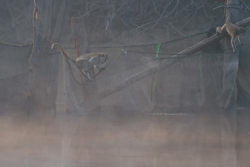 Crab-eating macaque (Macaca fascicularis) långsvansad Makak