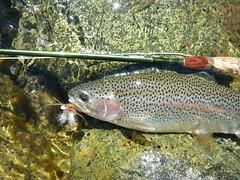 Upper Sacramento River summertime dry fly Rainbow