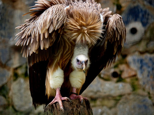 Himalayan Giffon Vulture