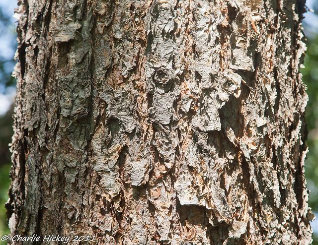 H201-Betula nigra-110831-004.jpg