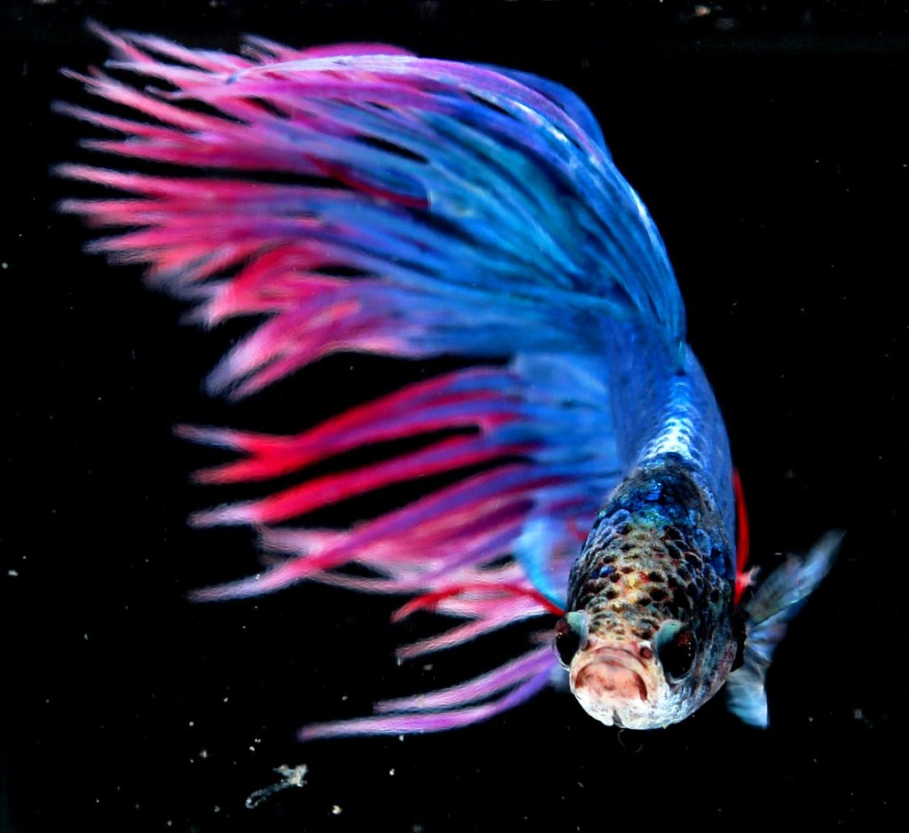 Crown tail siamese fighting fish betta splendens a for Betta fighting fish